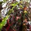 anne guthrie-codiaeum variegatum LP